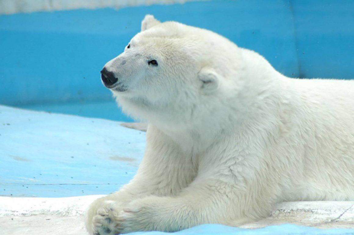 'Yupik', la osa polar que murió en un zoo de México y ha provocado la indignación de los animalistas